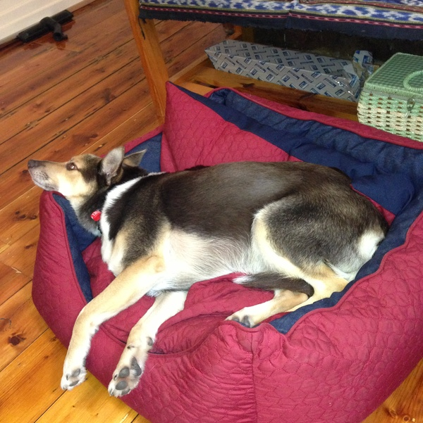 Responsible House And Pet Sitter Needed For Older Dog