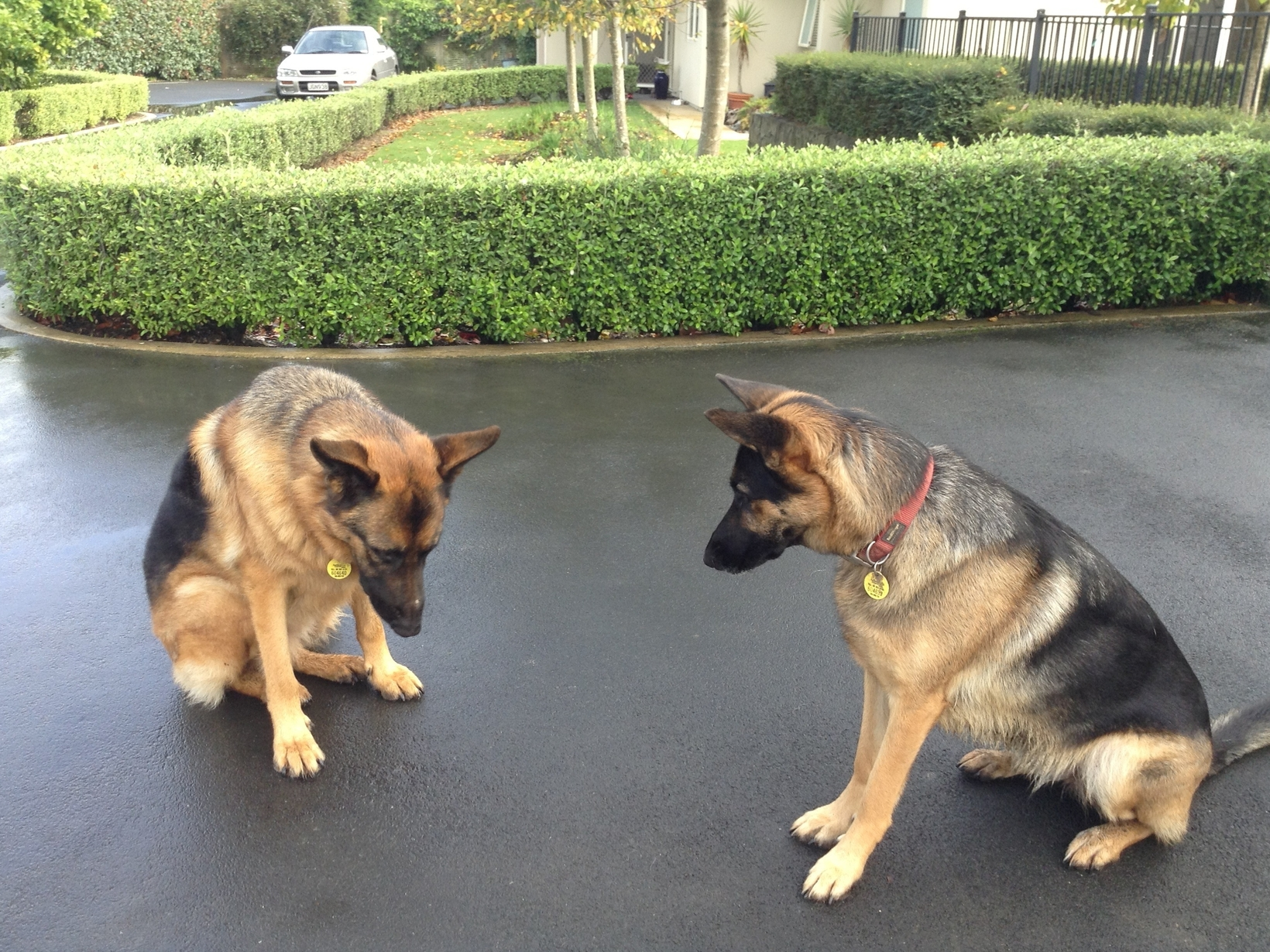 Image result for two german shepherd