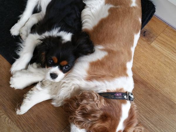 Experienced house sitters who will love my two gorgeous Cavalier King Charles spaniels