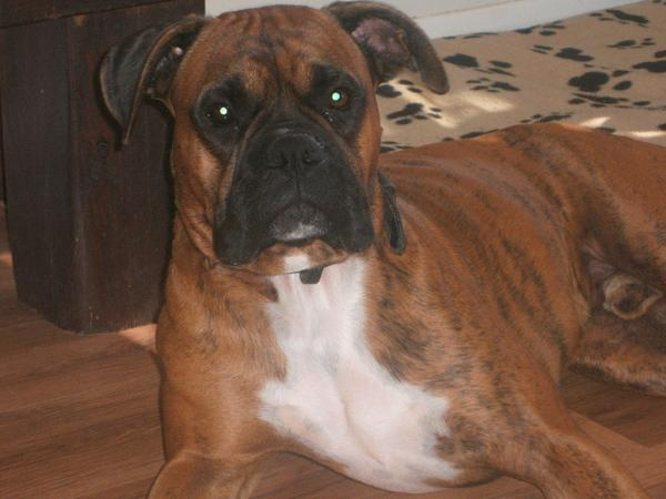 Pet Sitter needed for 8 yr old boxer for 3 and a half weeks in Brighton