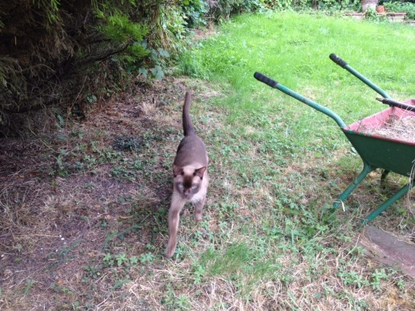 Special person/people needed to look after our GORGEOUS Burmese cat in Borehamwood