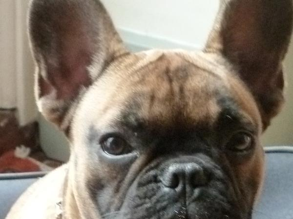 House sit for a French bulldog and mixed breed