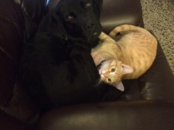 Melbourne Pet Sitter Needed for adorable Labrador & Cat