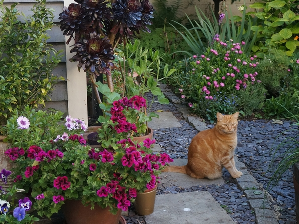 Loving, large ginger cat needs company with own lush town garden