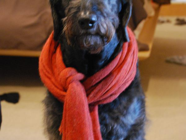 Dog sitter needed for our 8 year old Labradoodle in Primrose Hill, London