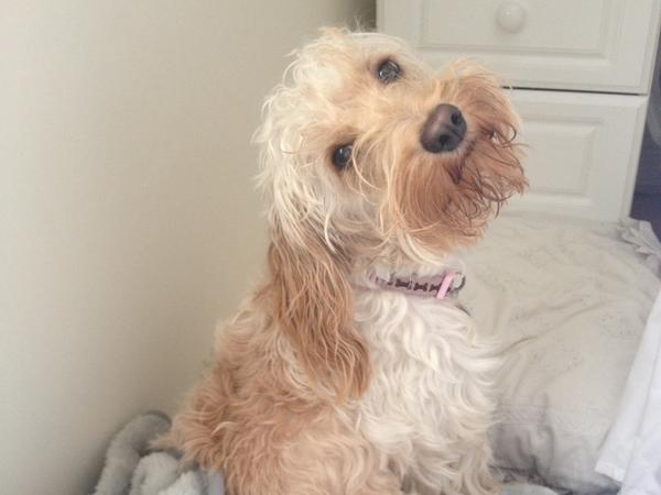 Pet sit my 3 year old Cockapoo