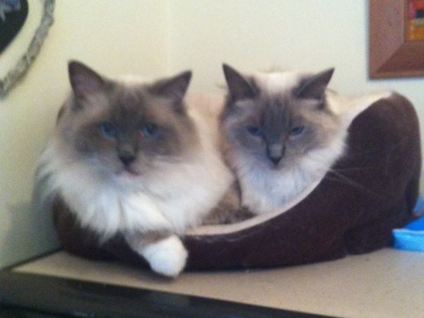 Cat sitter needed for 2 Ragdoll cats in Snowdonia.