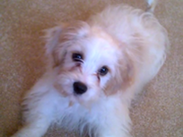 Pet sitter needed for my Cavachon for 24th Aug to 3rd Sept in Bristol.