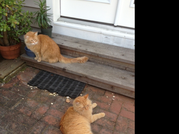 Two Wine Country Orange Kitties Need Your Loving Care