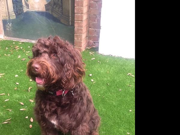 Dog sitter needed for loving labradoodle in family house near Hove seafront for 2 weeks in August