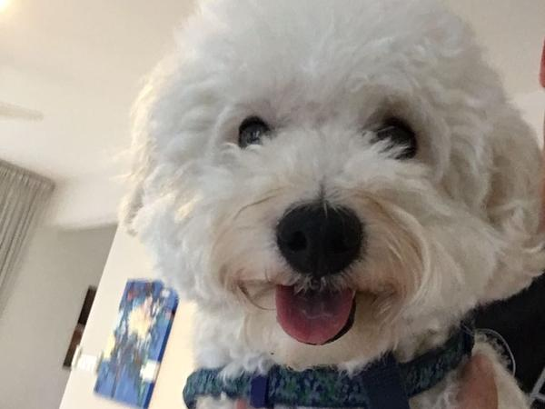 Caring dog sitter needed for cuddly toy poodle in Harrow