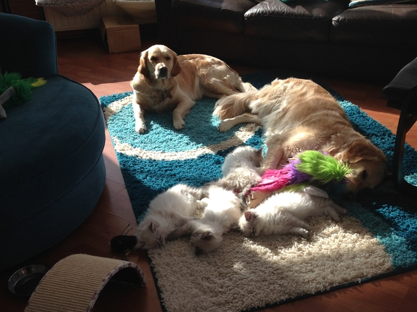 **URGENT** House and Pet sitter required due to house sitter cancellation in stunning location for my adorable Golden Rretrievers and Ragdoll Cats