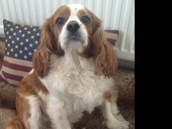 House sitter required to look after Ronson, our King Charles Spaniel