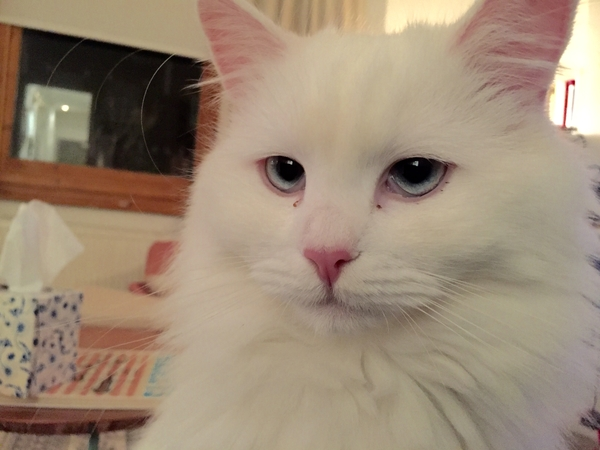 Lovely friendly cat Binky needs house/pet sitter in Maida Vale Area, LONDON