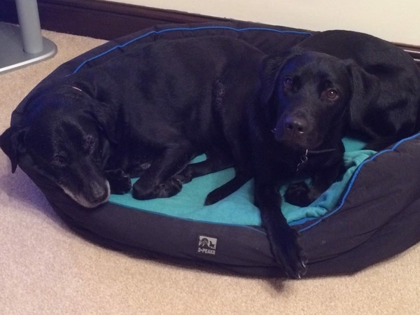Pet sitter required for 2 cats and 2 black labs