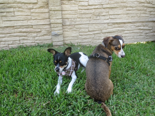 Sugar Land apartment w/ 2 small dogs who need 2 weeks of care