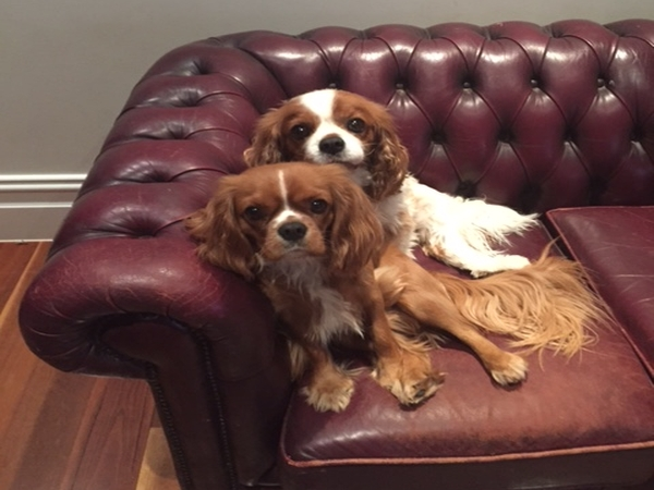 Great house and loving King Charles Cavilier Spaniels require care