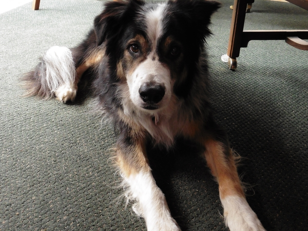 Spend Christmas in Portland!  Dog and house sitter wanted for Watson the Border Collie in architect's home in Portland, Oregon