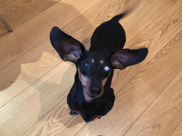 Dog sitting for 3 gorgeous miniature Daschunds in Mayfair, London.