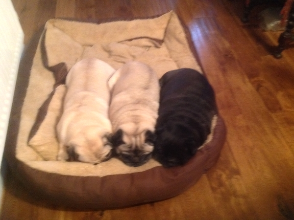 Pet Sitter needed for my 3 pugs for 7 nights