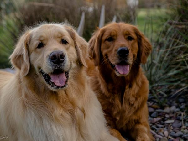 Two adorable and über-friendly Golden's looking for companionship