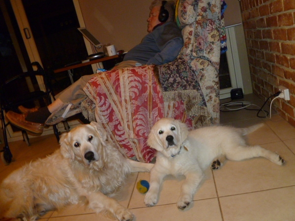 "Loving pet sitters needed for our two ""Goldies"" Saxon and Cosmos In  Kardinya WA"