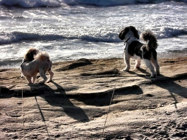 Two blocks from the beach in Sunny San Diego! (2 Older Shih-Tzus)