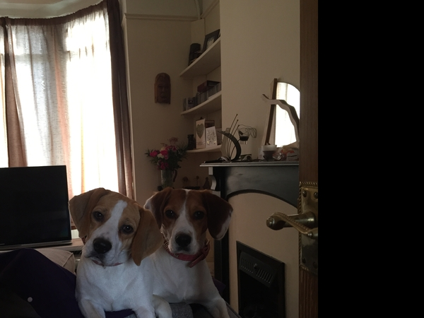 house sitters required to look after our home and our two beautiful beagles