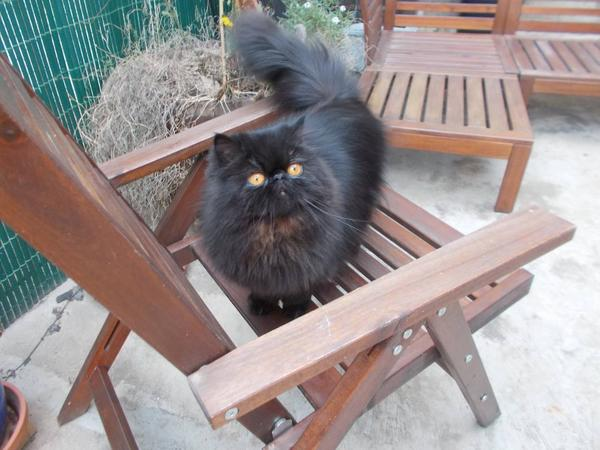 Two loving Persians need carers for 4+ weeks 13 February to 16 March 2018