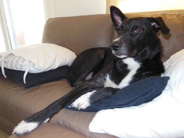 Sitters needed for our dog, Dash.  A 'reasonably' well-behaved and loving 3 year old Dog,