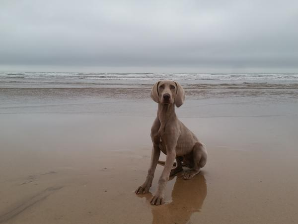 Hi we need someone to live in our house in westward ho! with our lovely one year old Weimaraner for 8  nights. He loves walks and is very friendly.