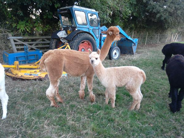 A week helping  with Alpacas