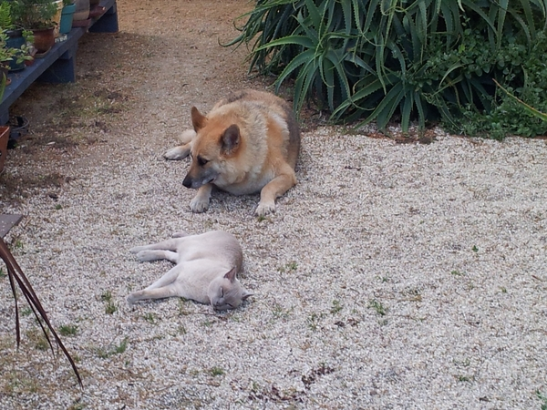 Loving person needed to be company for our elderly friendly German Shepherd and a loving Burmese in Australia