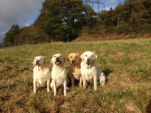 Rural Dorset, with working labradors.