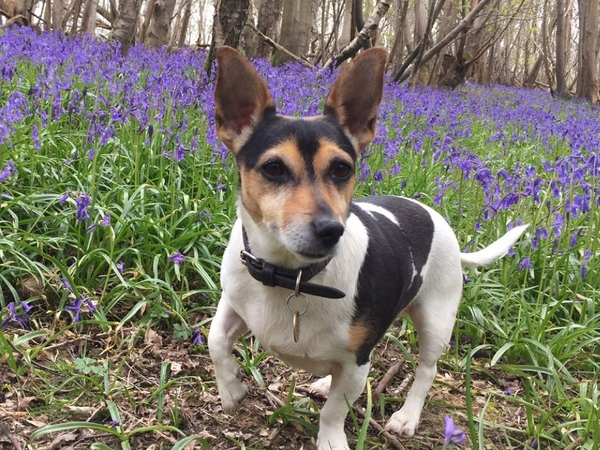 Pet sitter required for adorable 3 year old female Jack Russell, 8 nights from July 26th