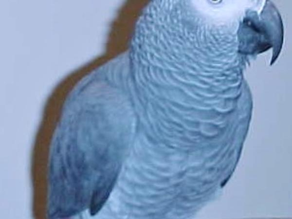 house sitting and caring for an african congo parrot