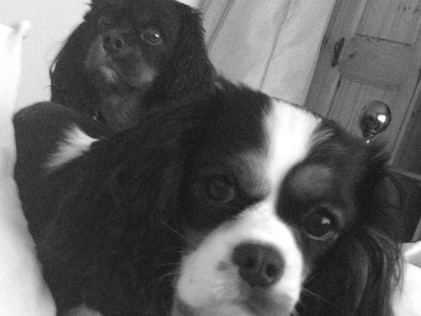 Caring for 2 Cavalier King Charles who need lots of love