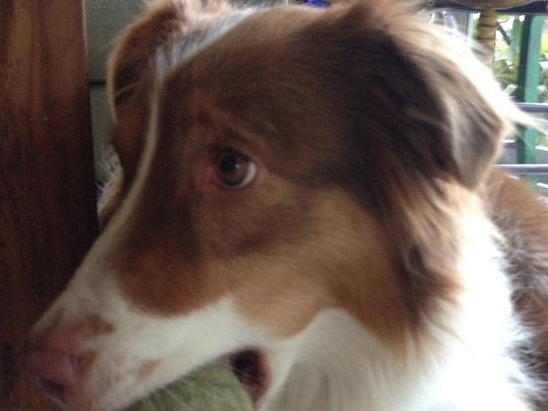 Pet sitter needed for our 4-yr old Australian Shephard