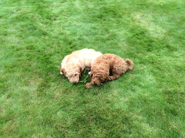 Two adorable 5 months old Labradoodles require looking after in large detached home 2miles from Auchterarder.