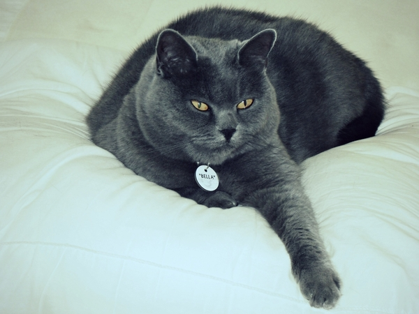 My 9 year old British blue shorthair Bella needs a sitter for various short overseas trips that I shall be making in the next few months.