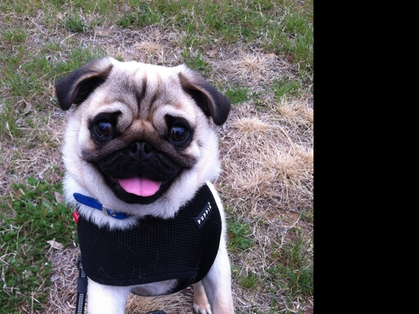 Pet sitter needed for my pug dog for 3 weeks in Penang Malaysia