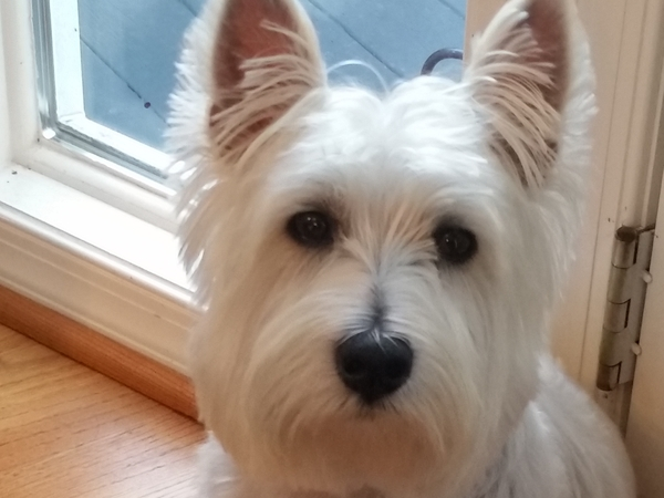 2 adorable Westies need lots of love while we are away