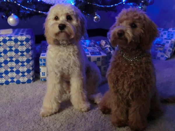 Pet sitter needed for a petite golden doodle and a cockapoo in Calgary AB, Canada