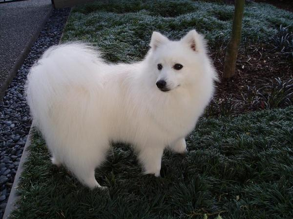 Pet Sitter or Minder required for our Japanese Spitz, in Newcastle, NSW