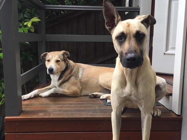 Housesitter needed to care for our 2 dogs