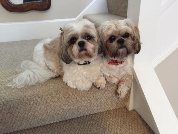 Large House in Bromley, Kent + 2 friendly Shih Tzu's
