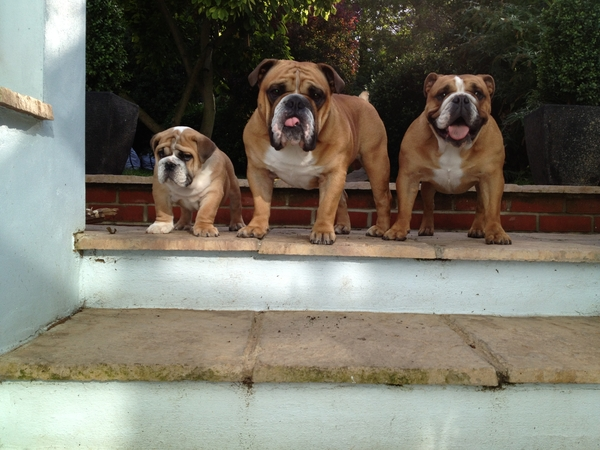 Pet sitter needed for our 3 british bulldogs in North West Kent