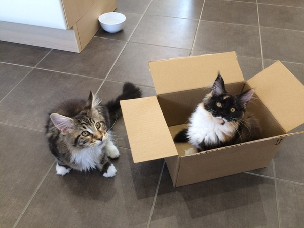 Adorable Maine Coon kittens, Hercules and Nikita need some loving care for a week.