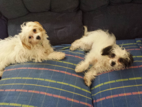Pet sitter needed for two small dogs. Not suitable for sitter with a 9-5 job.