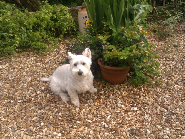 Pet sitter required for our Westie & Cat
